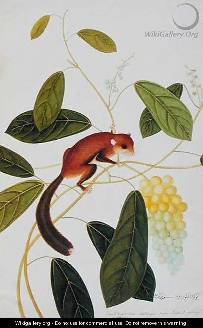 Squirrel on a wildgrape tree, Toopay Krawa, Booah angoor Ootan, from