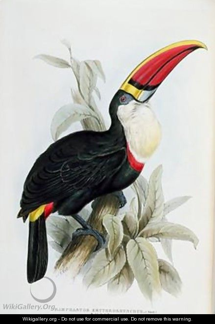 Red Billed Toucan Edward