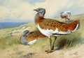 Great bustards - Archibald Thorburn
