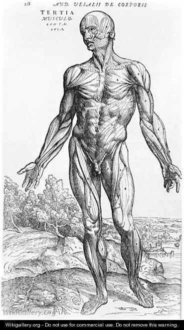 Anatomical Study, illustration from De Humani Corporis Fabrica by Andreas Vesalius 1514-64 Basel, 1543 3 - Andreas Vesalius