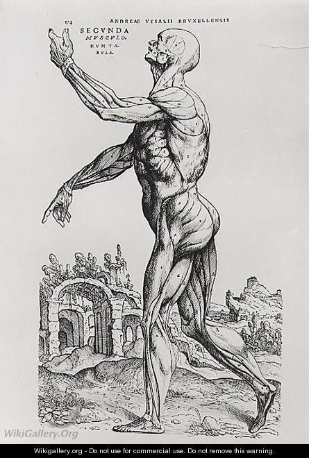 Musculature Structure of a Man - Andreas Vesalius