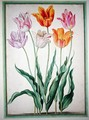 Tulips, from the Nassau Florilegium - Johann Jakob Walther