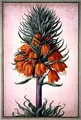 Fritillaria imperialis (crown imperial) plate 25 from the Nassau Florilegium - Johann Jakob Walther