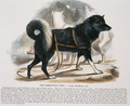 The Esquimaux Dog (Canis familiaris) educational illustration pub. by the Society for Promoting Christian Knowledge, 1843 - Josiah Wood Whymper
