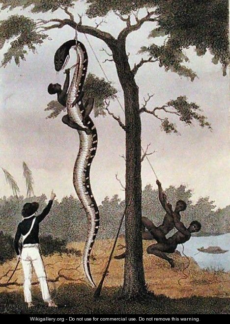 The skinning of the Aboma snake, shot by Captain Stedman, from Narrative of a Five Years Expedition Against the Revolted Negroes of Surinam 1772-77, published 1813 - John Gabriel Stedman