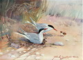 Common Tern, illustration from Wildfowl and Waders - Frank Southgate
