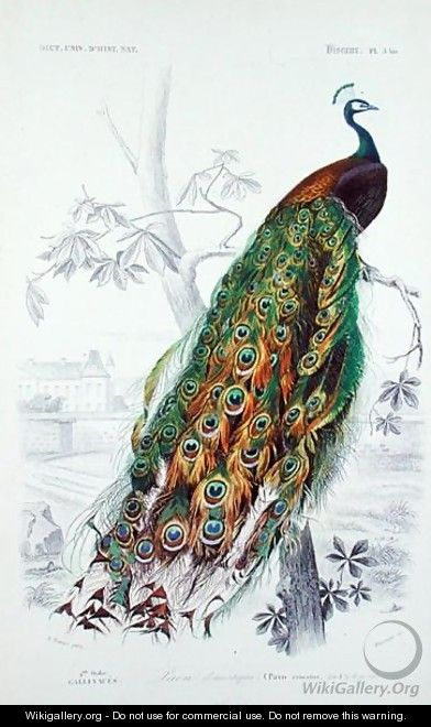 The Peacock, illustration from Le Dictionnaire dHistoire Naturelle by Charles dOrbigny, engraved by A. Fournier - Edouard Travies