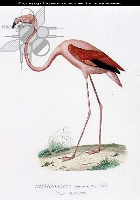 Phenicopterus americanus Flamenco sic engraved by Fournier, pub. by Bougeard - Edouard Travies