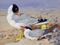Black headed gulls - Archibald Thorburn