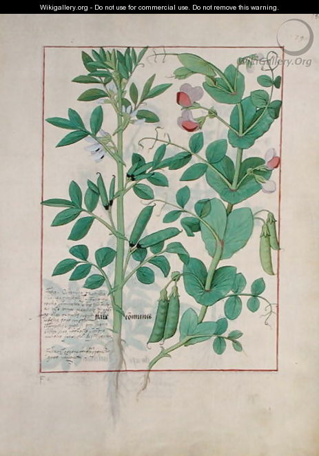 Illustration from the Book of Simple Medicines by Mattheaus Platearius d.c.1161 c.1470 28 - Robinet Testard