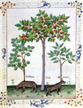 Hazelnut Bush left and Cherry tree centre, Illustration from the Book of Simple Medicines by Mattheaus Platearius d.c.1161 c.1470 - Robinet Testard