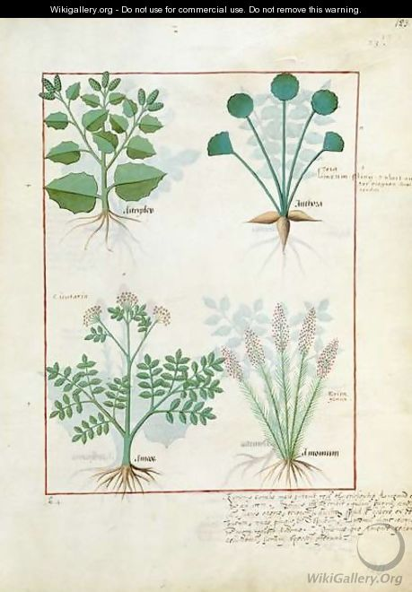 Top row- Salt Bush and Anthora. Bottom row- Absinthium and Cardamom, illustration from The Simple Book of Medicines by Mattheaus Platearius d.c.1161 c.1470 - Robinet Testard