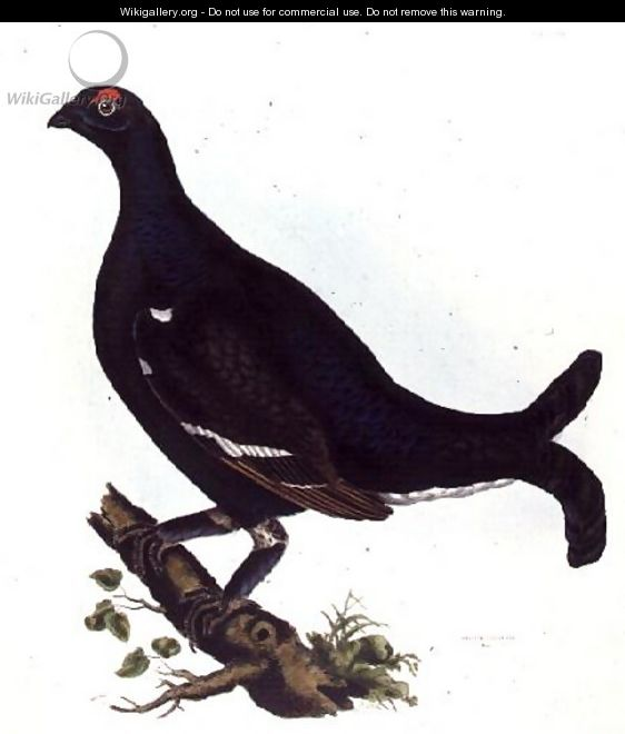 Black Grouse, from Illustrations of British Ornithology - Prideaux John Selby