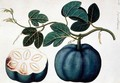 Mendickay or Water Melon, from 'Drawings of Plants from Malacca', c.1805-18 - Anonymous Artist