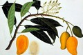 Mango Bodol, from 'Drawings of Plants from Malacca', c.1805-18 - Anonymous Artist