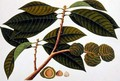 Brangam or Malay Chestnut, from 'Drawings of Plants from Malacca', c.1805-18 - Anonymous Artist