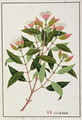 Boongo Chinkie (Malay), Eugenia Caryophyllatallen or Clove, from