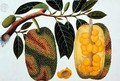 Champedak Artocarpus integrifolia or Longleaved Jack, from 'Drawings of Plants from Malacca', c.1805-18 - Anonymous Artist