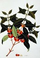 Coffee, from 'Drawings of Plants from Malacca', c.1805-18 - Anonymous Artist