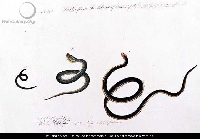 Snakes form the Island of Banca of the most venemous kind, from