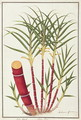Sugar Cane, Teboo Gagak, from 'Drawings of Plants from Malacca', c.1805-18 - Anonymous Artist