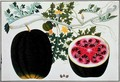 Mindikay or Water Melon, from 'Drawings of Plants from Malacca', c.1805-18 - Anonymous Artist