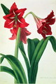 Hybrid Amaryllis Regina vittata - Barbara (after) Cotton