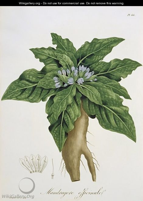 Mandragora Officinarum from Phytographie Medicale - L.F.J. Hoquart