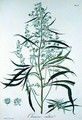 Cannabis Sativa from Phytographie Medicale - L.F.J. Hoquart