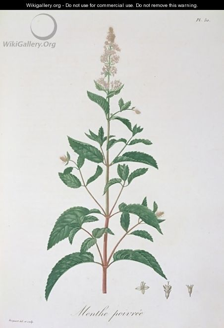 Mentha Piperita from Phytographie Medicale - L.F.J. Hoquart