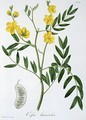 Cassia from Phytographie Medicale - L.F.J. Hoquart