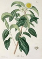 Camellia Thea from Phytographie Medicale - L.F.J. Hoquart