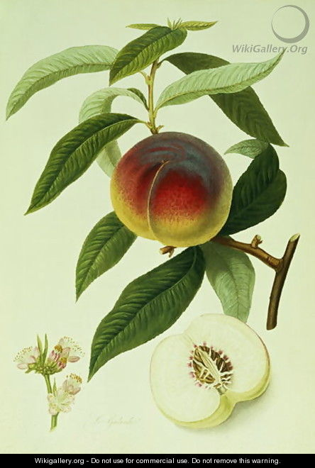 The Galande Peach - William Hooker