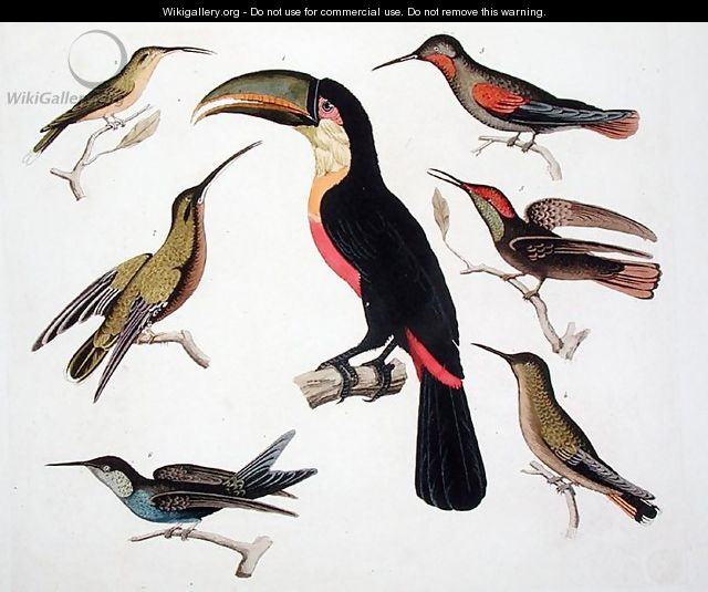 Native birds including the Toucan centre Amazon Brazil - (after) Humboldt, Friedrich Alexander, Baron von