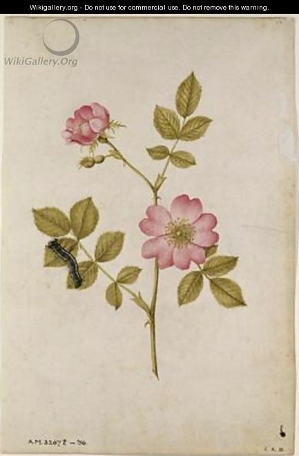Rosa Canina Dogrose and Caterpillar - Jacques (de Morgues) Le Moyne