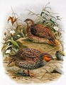New Zealand Quail - Johan Gerard Keulemans