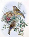 Greenfinch 2 - John Gould