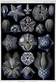 Blastoidea plate from Artforms of Nature - Ernst Haeckel