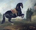 A black horse performing the Courbette 2 - Johann Georg Hamilton