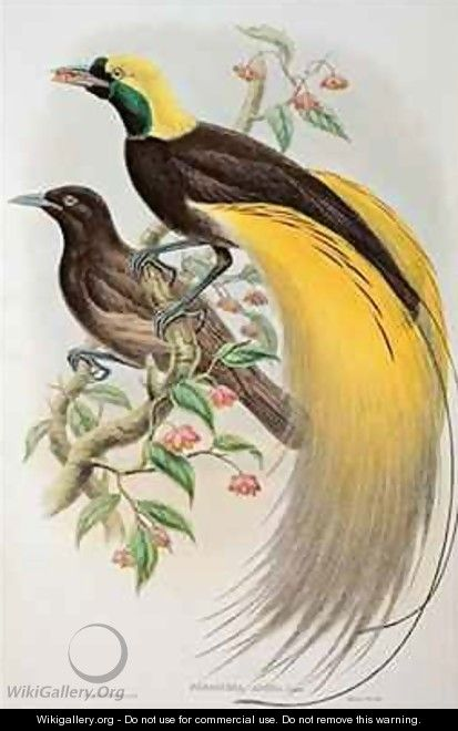 Bird of Paradise Greater Paradisaea Apoda - (after) Gould, John & Hart, William