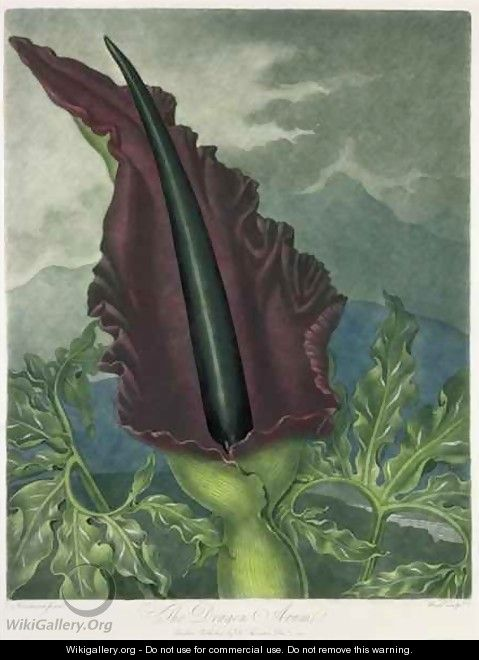 The Dragon Arum - (after) Henderson, Peter Charles