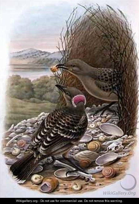 Chlamydera Nuchalis Great or Great Grey Bowerbird - William M. Hart
