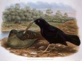 Ptilonorhyncus Violaceus Satin Bowerbird - William M. Hart
