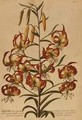 American Turkscap Lily from Plantae Selectae - Georg Dionysius Ehret
