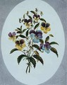 Heartsease varieties - John Edwards