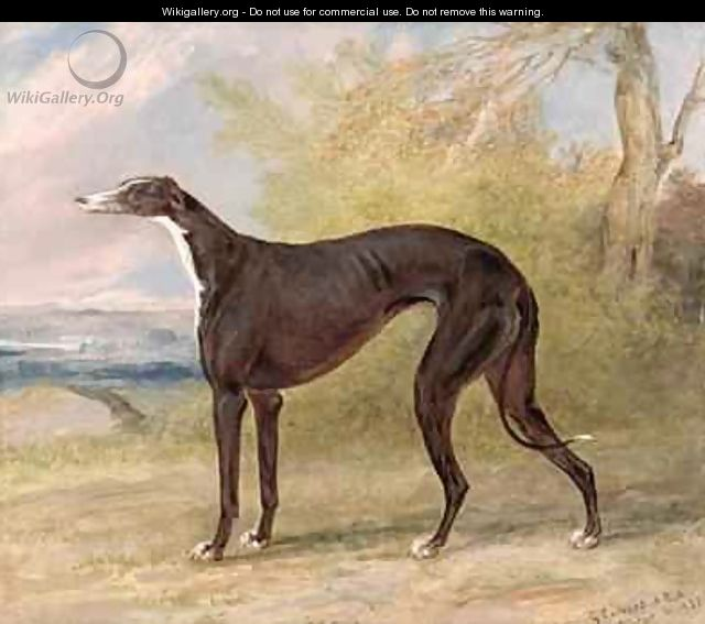 One of George Lane Foxs Winning Greyhounds the Black and White Greyhound Bitch Juno also known as Elizabeth - George Garrard