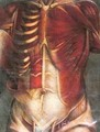 Muscles of the thorax and abdomen - Jacques - Fabien Gautier - Dagoty
