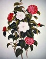 Camellia Japonica from A Monograph on the Genus of the Camellia - William Curtis