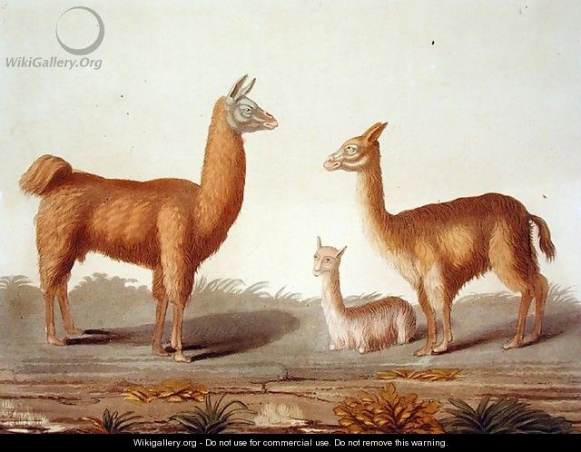 Alpaca left and Vicuna right llamas, from Le Costume Ancien et Moderne, Volume II, plate 12, by Jules Ferrario, published c.1820s-30s - Vittorio Raineri