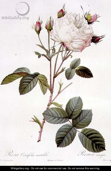 Rosa Centifolia Mutabilis, engraved by Bessin, published by Remond - Pierre-Joseph Redouté